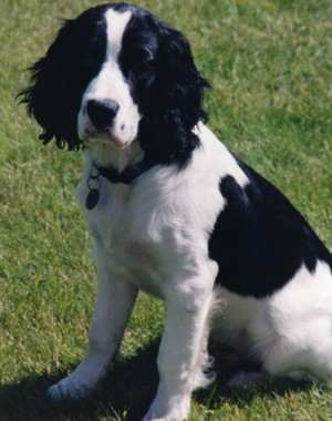 Downs Lake Kennel - AKC English Springer Spaniel Trained Puppies